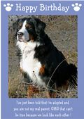"Bernese Mountain Dog-Happy Birthday - ""I'm Adopted"" Theme"